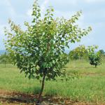 Albicocco in allevamento prima della potatura verde
