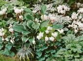 Bordura di Cyclamen ciclamini bianchi a fiore