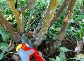 Potatura rose ramo da elimnare