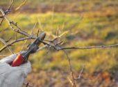 potatura-melo-inverno-vita-in-campagna