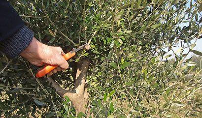 potatura-olivo-rami-stesso-nodo durante