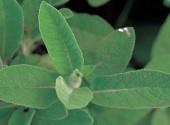 Foglie Salvia orto