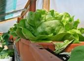 Lattuga in vaso coltivata su un terrazzo