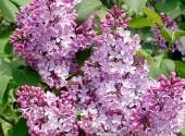 Lillà  Syringa vulgaris – Copia
