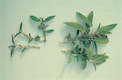 Ad Aprile Moltiplicate La Salvia Per Talea Vita In Campagna