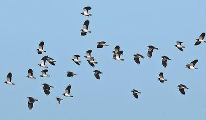 Stormo pavoncelle – uccelli migratori