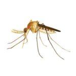 Zanzara comune (Culex pipiens)