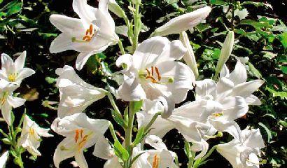 01_giardino_Lilium Candidum_Giglio di sant antonio in giardino_ Vita in Campagna