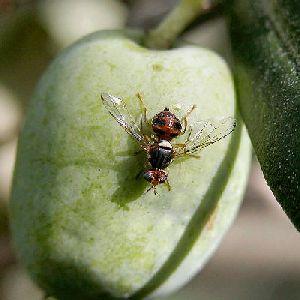 Adulto mosca delle olive – Vita in Campagna