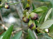 Danni mosca delle olive- Vita in Campagna