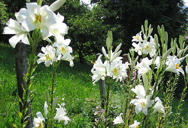 Lilium Candidum_Giglio di sant antonio in giardino_ Vita in Campagna