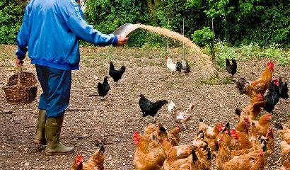 Allevamento di polli da carne