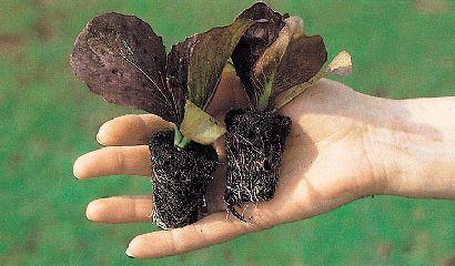 Piantine radicchi trapianto orto – Vita in Campagna