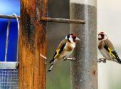 cardellino-carduelis-carduelis-mangiatoia-uccelli-della-campagna