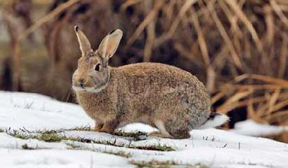 coniglio-selvatico