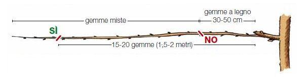 potatura-actinidia
