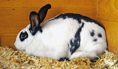 Tutte le 43 razze di conigli italiani
