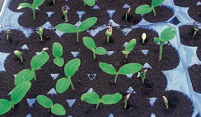 semina-zucchino-in-contenitori-alveolati-copia