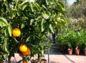 Immagine-articolo-concimazione-agrumi-in-vaso