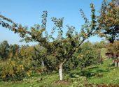 albicocco-dopo-potatura
