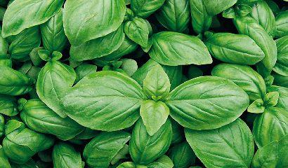 foglie basilico coltivazione