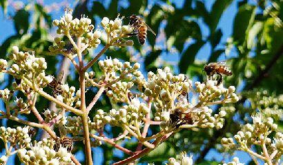 pianta evodia fiore fiori api miele nettare albero del miele 410×240