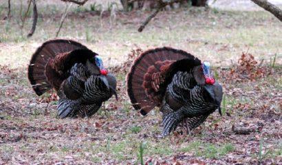 tacchino-selvatico-americano-wild-turkeys