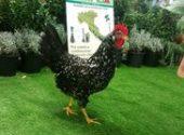 Campionati italiani di avicoltura