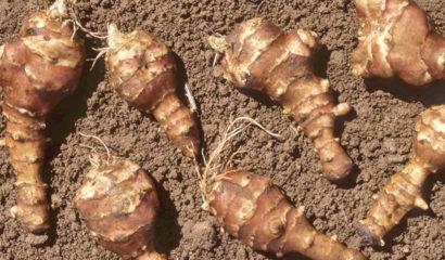 Topinambur-coltivato-orto-coltivare