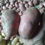 Patate 2017_3_1