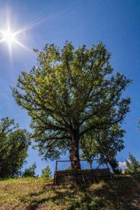 02_albero-quercia-monumentale-rogliano-cosenza