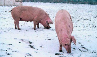 maiali-allevamento-dicembre