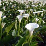 Calla bianca field_comp