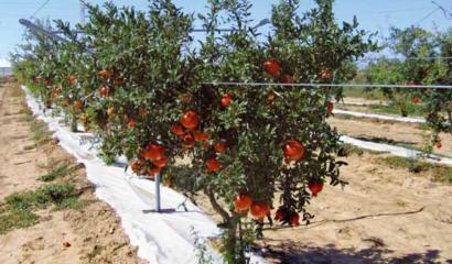 Le cure colturali del melograno: dalla gestione del terreno alla raccolta