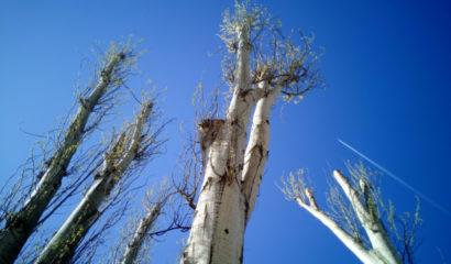 La capitozzatura degli alberi ornamentali: una pratica scorretta e pericolosa