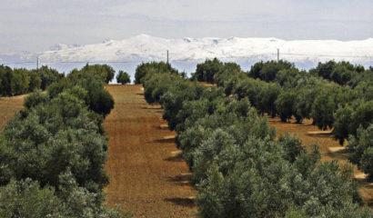 Concimazione dell'olivo durante l'inverno