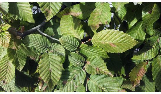 Carpino bianco foglie