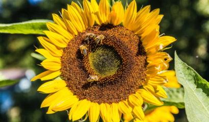 api-girasole-polline-nettare-820×480