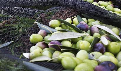 olive raccolta